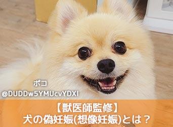 【獣医師監修】犬の偽妊娠(想像妊娠)とは?症状や原因、期間等について解説!-サムネイル画像
